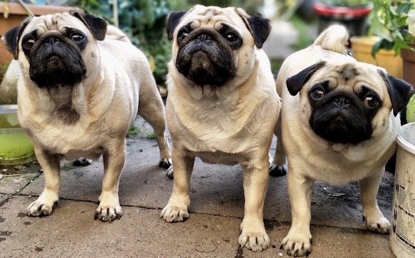 3 pug dogs move toward emotional and mental health