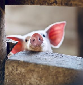 cute pink pig lifts snout at the curse of encouragement
